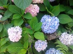 Hydrangeas. Photo by Trish Breedlove