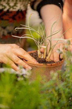 Mielenkiintoiset yrtit kokeilussa: kuvernöörinkukka ja oliiviyrtti VALKOSIPULIYRTTI Herbs, Plants, Herb, Plant, Planets, Medicinal Plants