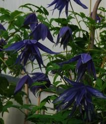 Clematis macropetala 'Lagoon' is the darkest of the blue macropetala clematis. To bring out the best colour in its blooms, it is best to display them against a dark background. Later flowering than most other macropetala clematis, it blooms from mid-late spring. Like all early-flowering clematis, it requires little pruning other than the removal of any dead or damaged growth after flowering.