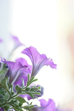 Pretty Purple Petunias
