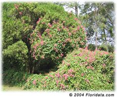 Coral vine is beautiful and easy to grow. It's rapid growth rate and thick luxuriant foliage make it a good candidate for screening unsightly views. The abundant and brilliantly beautiful flowers attacts hordes of butterflies.