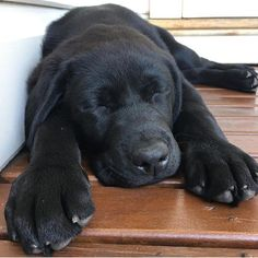 A pup needs lots of downtime when he has giant paws to grow into (via: @bill_and_kev) Keep tagging #talesofalab and following @talesofalab and @talesofalabpuppy for a chance to be featured!