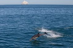 A dolphin leaps in the Cortes Sea in San Felipe, Baja California, Mexico. The Mexican navy is carrying out an operation to arrest fishermen using illegal gill-nets to catch the Totoaba macdonaldi fish, because they trap the endangered phocoena sinus or vaquita marina – the world's smallest porpoise – which is endemic to the region.