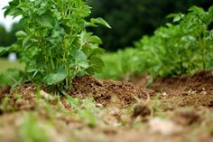 hilling potatoes: groundwork project