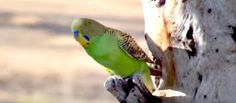 Wild Budgerigars Breeding and Feeding their Young - watch this wonderful video