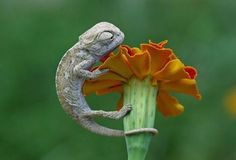 Mini-Dinosaur :) Photo by mehmet karaca Les Reptiles, Cute Reptiles, Reptiles And Amphibians, Beautiful Creatures, Animals Beautiful, Cute Animals, Baby Chameleon, Karma Chameleon, Animal Pictures