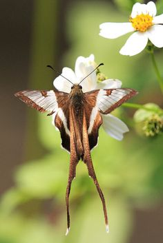 The White Dragontail (Lamproptera curius) is a species of swallowtail native to parts of South Asia and Southeast Asia.