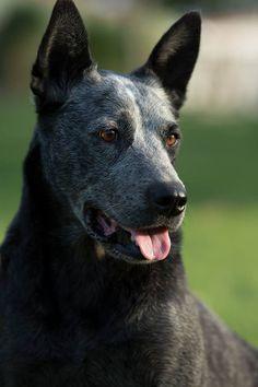 australian-dog-breeds-2