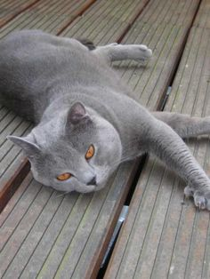 8 Best Gray Cats images in 2016 | Cats, Grey cats, Cat breeds