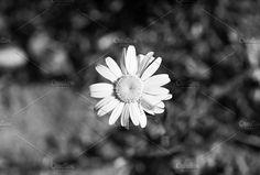 Daisy, B&W, Monochrome Photo by dg. seaton on @creativemarket