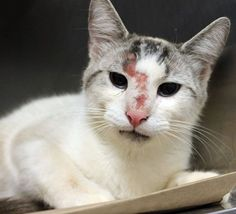 ADOPTED>Intake: 6/6 Available: 6/12 NAME: Tubby  ANIMAL ID: 31818540 BREED: Siamese mix  SEX: Neutered Male  EST. AGE: 4 yrs  Est Weight: 8.0 lbs Health: Came in with wounds on his face Temperament: Friendly ADDITIONAL INFO:  RESCUE PULL FEE: $35