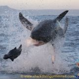 Photos of great white sharks breaching Taken by Shark Diving Unlimited, Browse through our amazing photos. Shark Cage, Shark Diving, Great White Shark, Whale, Cool Photos, Gallery, Animals, Animales, Animaux