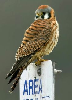 Discover birding resources, visit our Wildlife Sancturary, attend programs to learn about nature, and take action to conserve habitats throughout Oregon. Critters 3, American Kestrel, Blackbird Singing, Broken Wings, Birds Of Prey, Raptors, Bird Art, Bird Feathers, Predator