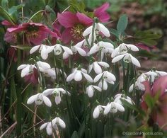 Hellebores and snowdrops are classic late winter and early spring companions. Manor Garden, Oak Bluffs, Garden Gates, Early Spring, Winter Garden, Shade Garden, Wild Flowers, Planting Flowers, Bloom