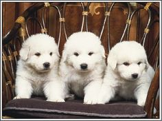 Items similar to 4 Dog Puppy Great Pyrenees Dogs Puppies Greeting Notecards/ Envelopes Set on Etsy Pyrenees Puppies, Great Pyrenees Puppy, Big Dogs, I Love Dogs, Cute Puppies, Dogs And Puppies, Doggies, Akbash Dog, Mountain Dogs
