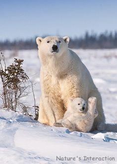 'Polar Bear Mom and Cub' - photo by Nature's Interaction on Etsy;  Wapusk National Park, Manitoba, Canada
