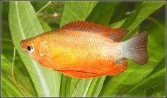 Thicklip Gourami (Colisa Labiosa) - Adult size: female 2.8 inches, male 3.1 inches. Origin: Asia / India