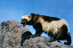 Climate change is destroying the habitat wolverines reside in. There are only 300 left in the nation. Ask the U.S. Fish and Wildlife Service to add the animal to its endangered species list.