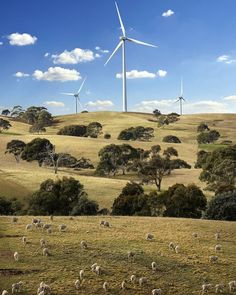Las 31 turbinas eólicas del parque Gunning se levantan como gigantes entre los árboles que integran el entorno natural de Walma, donde se encuentran instaladas (Nueva Gales del Sur, Australia).  The 31 turbines at Gunning Wind Farm rise like giants from the natural landscape of Walma in the Australian state of New South Wales. Grazing is permitted within the boundaries of the farm, which sees animals regularly mingling peacefully among the machines.