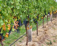 """Sermon on the Parable of the Wicked Tenants by Pastor Kathi Johnson: """"The Vineyard is Alive and Well"""""""
