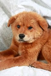 Hatchi Chowmix is an adoptable Chow Chow Dog in Cabool, MO. Hatchi Chowmix Chow mix Baby  Female  Medium Approximate birthdate: 3/15/2013 Weight:  18 pounds Adoption fee: $195  Look who is looking for...