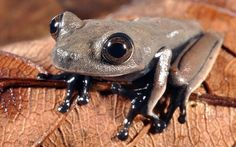 "New ""Cocoa Frog"" found in Suriname."