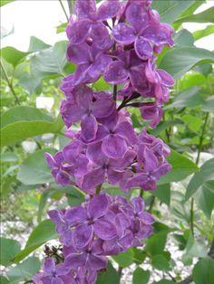 Lilac Ludwig Spaeth