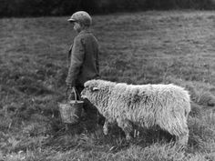 Little Boy Carring a Metal Pail of Feed is Followed by a Hungry Sheep! Valokuvavedos