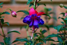 flores brinco de princesa - Pesquisa Google