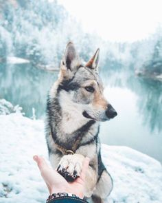 Fantastic Beautiful dogs tips are offered on our web pages. Take a look and you wont be sorry you did. Pet Dogs, Dogs And Puppies, Dog Cat, Pets, Doggies, Beautiful Dogs, Animals Beautiful, Cute Animals, Czechoslovakian Wolfdog