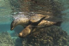 Best Snorkeling Spots  - Playful young sea lions  Read more: http://www.traveltherenext.com/adventure/item/665-best-snorkeling-spots-in-the-galapagos-islands-ecuador  #visitecuador #galapagos #sealions #snorkeling #adventure #travel #fun #traveltherenext