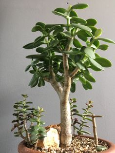 Jade plants are easily propagated using plant leaves. Jade Bonsai, Succulent Bonsai, Bonsai Plants, Cacti And Succulents, Planting Succulents, Cactus Plants, Planting Flowers, Garden Terrarium, Bonsai Garden