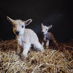 Newest edition. Born just a few hours ago ☺🐑. (With images) Cute Baby Animals, Farm Animals, Animals And Pets, Beautiful Creatures, Animals Beautiful, Sheep And Lamb, Cute Animal Pictures, Animal Pics, Baby Goats