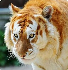 Extremely Rare Golden Tiger