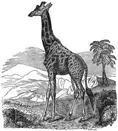 giraffe.jpg (2268×2512)