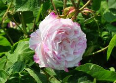 Old Gallica rose 'Chateau de Namur', Pierre-Viktor QUETIER  Fri.1842
