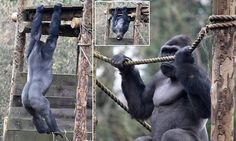 WORKING OUT: Don't mess with him! 400lb gorilla's workout puts gym-goers to shame
