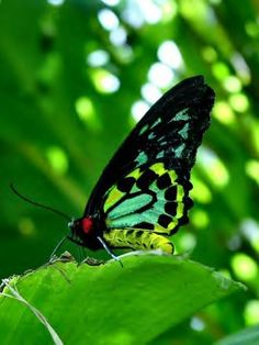 The magnificent Queen Alexandra's birdwing butterfly (Ornithoptera alexandrae) is disappearing from its rainforest home in  New Guinea. This endangered butterfly boasts a wingspan of 10-12 inches, making it the world's largest butterfly.