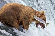 A grizzly bear doing a bad job of catching a salmon at Brooks Falls in Katmai National Park, Alaska, July, (Photo by Rob Kroenert/Barcroft Images/Comedy Wildlife Photography Awards Comedy Wildlife Photography, Photography Awards, Animal Photography, Funny Animal Photos, Funny Animals, Funny Pictures, Wild Animals, Le Zoo, Photo Animaliere