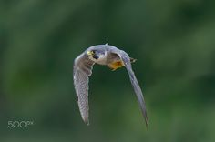 Peregrine falcon ( L: Falco peregrinus / N: Vandrefalk )
