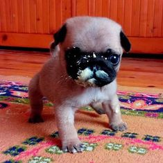 Im a little scared glad i have my buddy omg so cute pinte i didnt do anything pug pugs puglia puggle puggy thecheapjerseys Choice Image