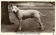 Another example of James Hinks early Bull Terriers.