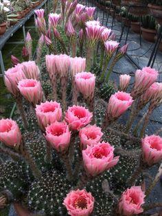 Echinopsis hyb. Vivaio cactus succulente Stefano Colombo