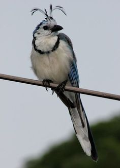 カンムリサンジャク  White-throated magpie-jay (Calocitta formosa)
