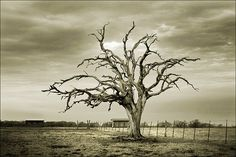 Fenced Austerity: dead tree in a field off of Highway 183 just south of Gonzales