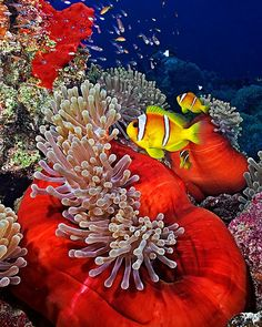 """Anemone City"" by Henry Jager. From the dive site Anemone city at Wadi Gimal, Red Sea, Egypt ─ In this picture: Two-banded Anemonefish, Amphiprion bicinctus Life Under The Sea, Under The Ocean, Sea And Ocean, Fish Ocean, Colorful Fish, Tropical Fish, Beneath The Sea, Sea Anemone, Salt Water Fish"