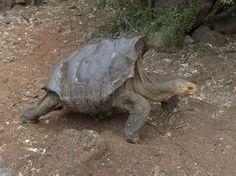 Diego la bomba sexual que salvó a toda una especie de tortugas