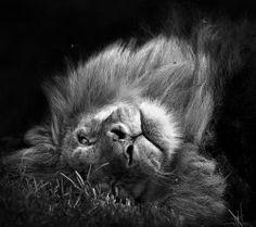 ♕ M - Lion