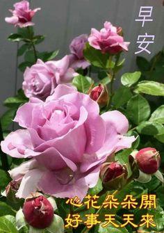 Good Morning Greetings, Good Morning Wishes, Good Morning Quotes, Good Morning Flowers, Chinese Quotes, Rose, Greed, Maya, Exercises