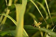 朝の谷戸山公園でトノサマバッタの幼虫に会いました。撮りながら「変わったバッタだなぁ」と思っていました。家へ戻って写真を見ると羽も目立たないし Photography Portfolio, Plant Leaves, Plants, Animals, Animales, Animaux, Animal, Plant, Animais